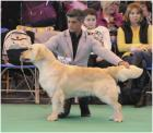 Golden retriever STANROPH SOLE POWER