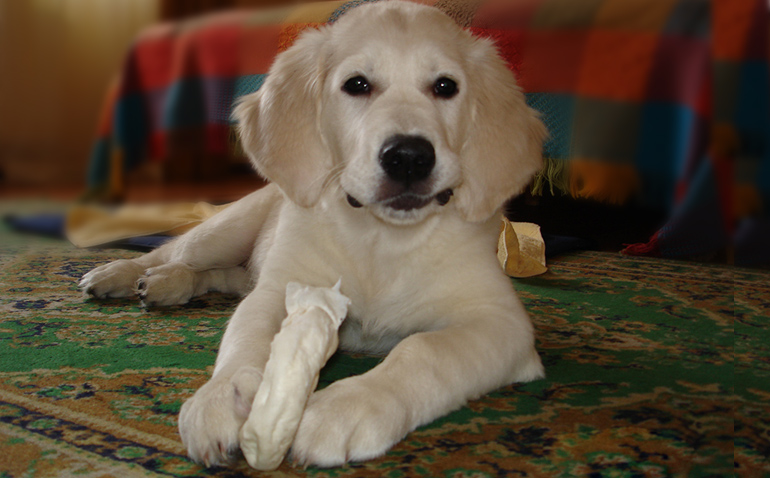 Golden retriever - Bukva