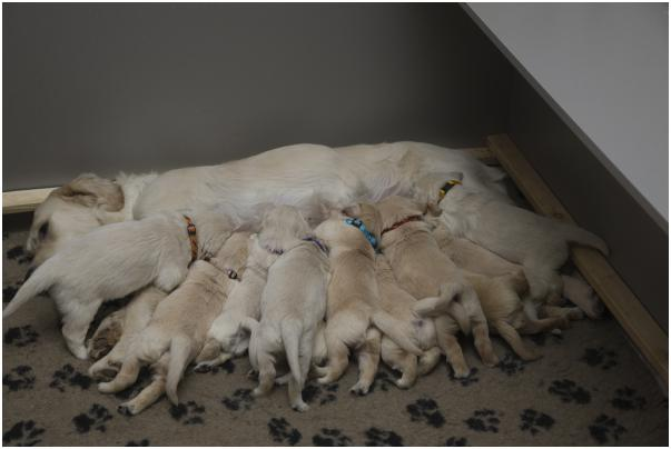 retriever puppies on the article about the prices