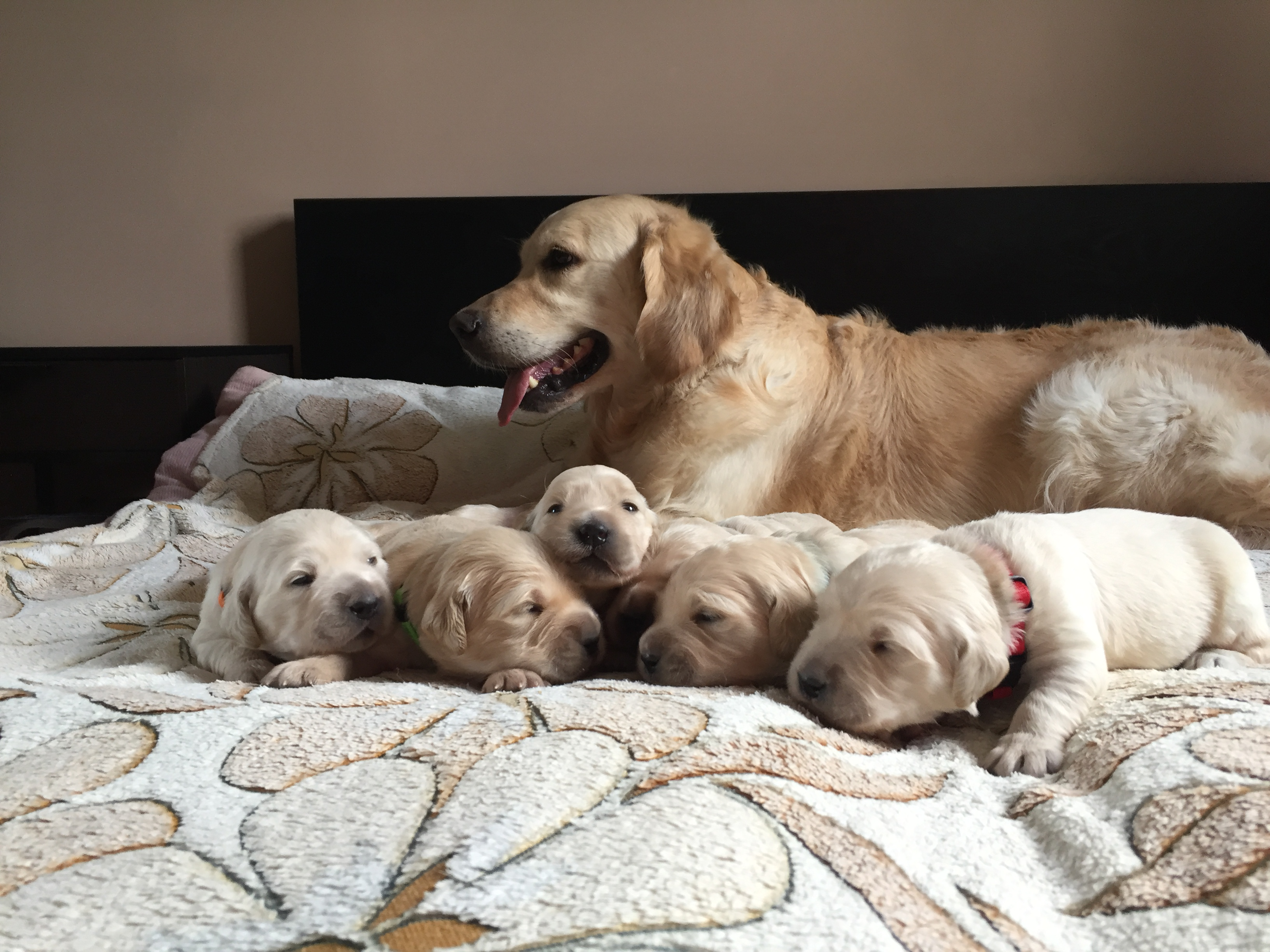 "In the kennel ""Лесной Городок"" born six puppies - three boys and three girls"